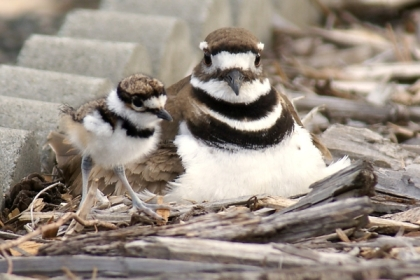 Killdeer01